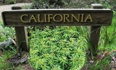 Cannabis Californie
