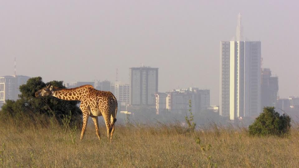 Les girafes de Nairobi, coincées dans les embouteillages comme de vulgaires automobilistes parisiennes…